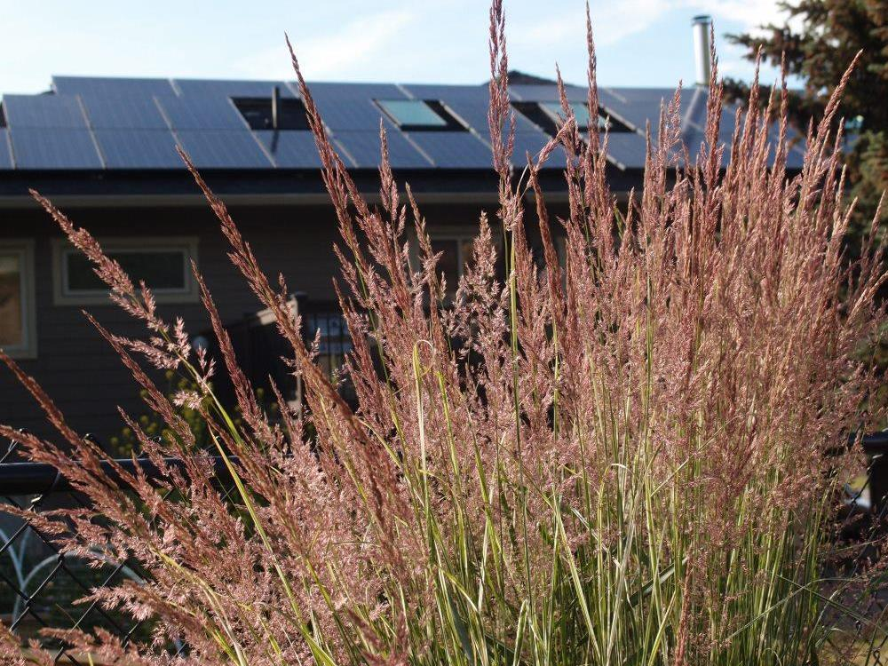 red ornamental grasses swaying in the summer breeze with solar electric in the background.